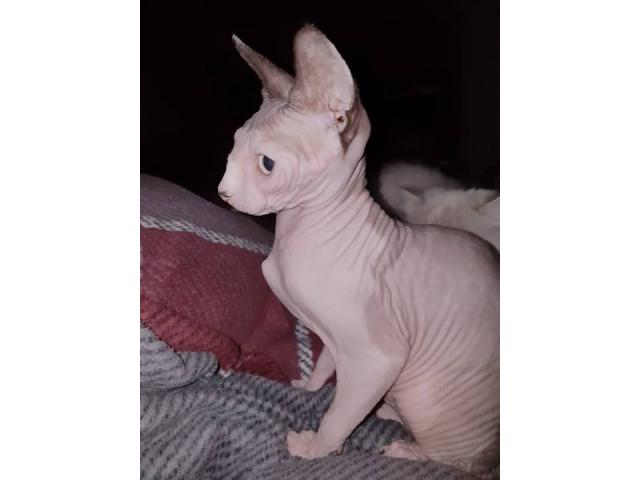 Photo sphynx femelle image 3/3