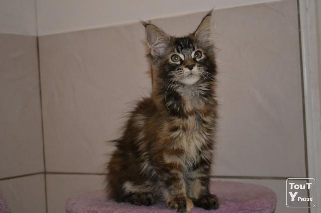 3 CHATONS MAINE COON L...