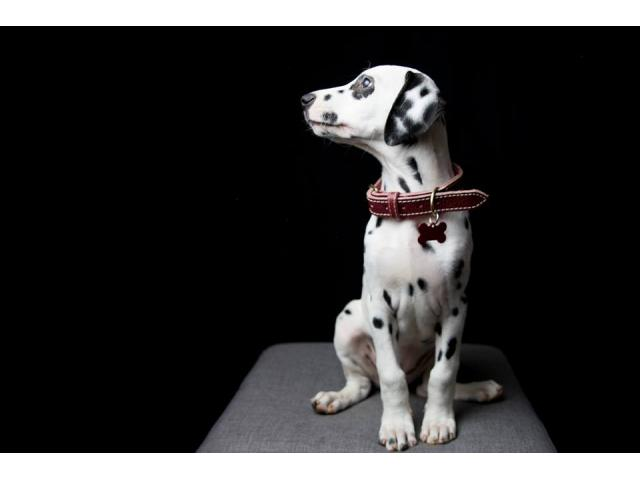 Photo CHIOT DALMATIEN LOF image 4/4
