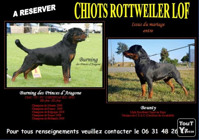 A r server chiots rottweiler lof angoul me 16000 for Code postal 16000