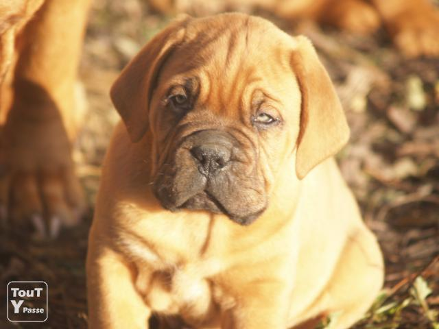 magnifiques chiots dogue de bordeaux vendre clavier 4560. Black Bedroom Furniture Sets. Home Design Ideas